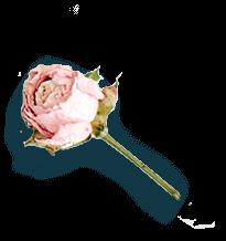 Cérémonie Rose sur fond transparent