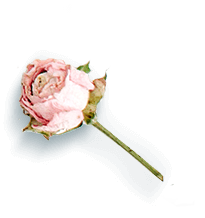 tarifs Rose illustration fond transparent en couleur
